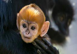 تولد یک نمونه نادر میمون در استرالیا