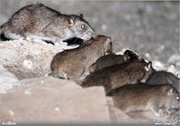 موشهای آدمخوار در انتظار زلزله تهران / پایتخت چه تعداد موش دارد؟