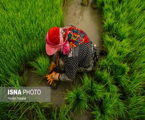 تصاویر زنان نشاکار در استان گلستان