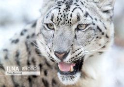 حیوانات در حال انقراض را بشناسید +اینفوگرافی