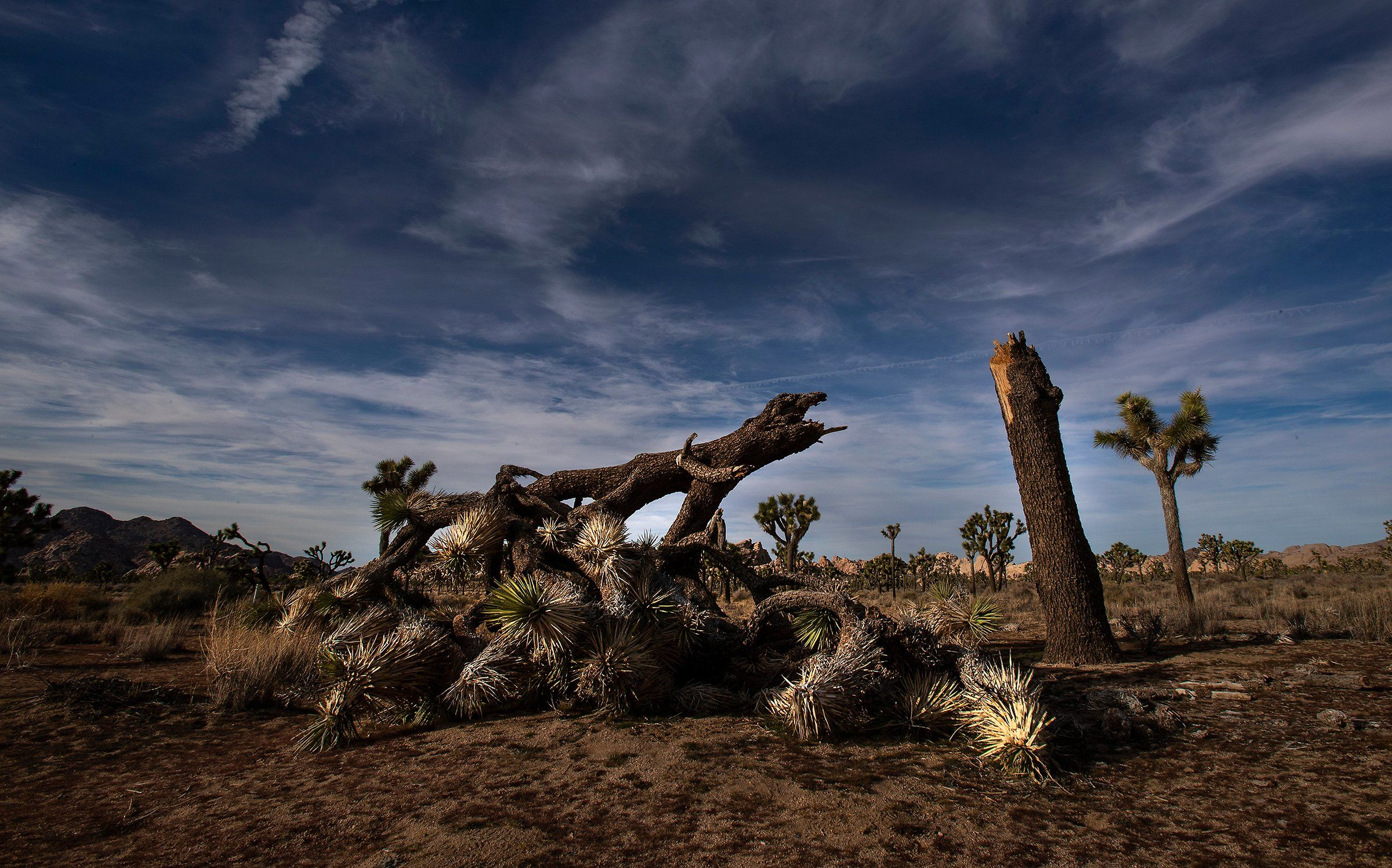 A once vibrant Joshua Tree was severed in an act of vandalism in California's Joshua Tree National Park on Jan. 8.