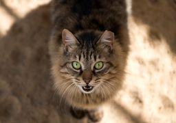 گربهها ویروس کرونا را به یکدیگر منتقل میکنند