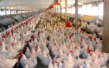 آخرین قیمت مرغ و تخم مرغ در بازار