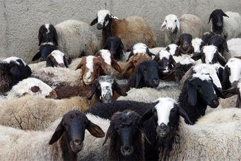 کمبود گوسفند ایرانی گوشت را در امارات گران کرد