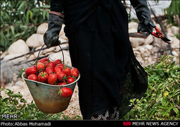 وعده کاهش قیمت گوجهفرنگی در ماه بعد !