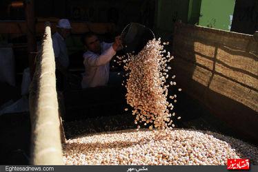 برداشت پسته به روایت چند فریم عکس