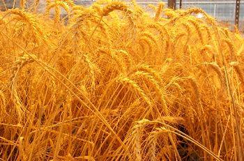 8میلیون تن تولید گندم سال جاری