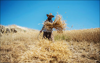 2 میلیون و 98 هزار تن گندم خریداری شد / افزایش 50 درصدی خرید گندم