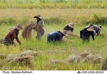 150 هزار تن برنجی که امسال برداشت نمیشود/آیا امسال کمبود برنج خواهیم داشت؟