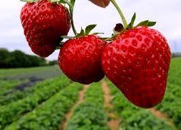 هشدار عجیب در مورد مصرف توت فرنگی