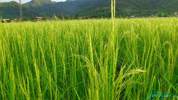 سهمیه بندی واردات برنج، رانت و فساد ایجاد میکند