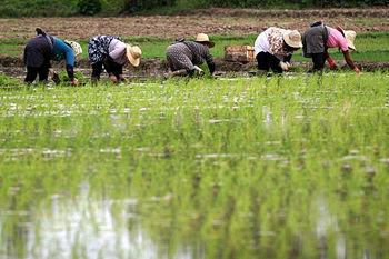 برنج های ایرانی و خارجی کد رهگیری می گیرند