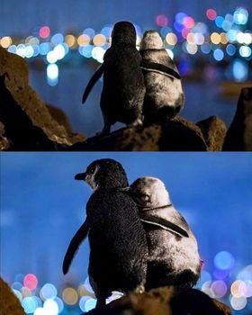"دو پنگوئن عاشق برنده جایزه ""عکس اقیانوس""+عکس"