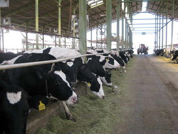 صنایع لبنی شیر خام را کمتر از 1250 تومان می خرند