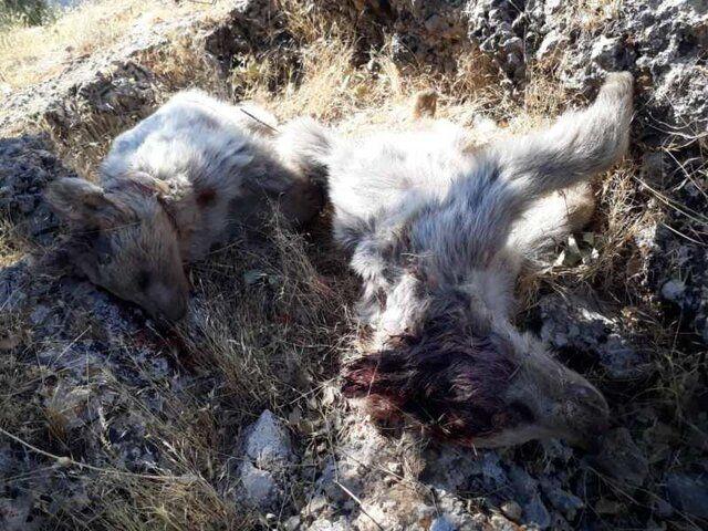 کشف لاشه ۲ قلاده خرس قهوه ای نابالغ در جایگاه دفن زباله سی سخت