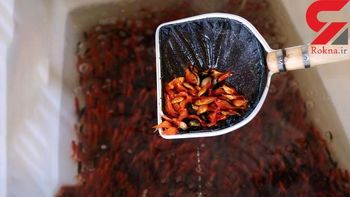 ممنوعیت فروش ماهی قرمز