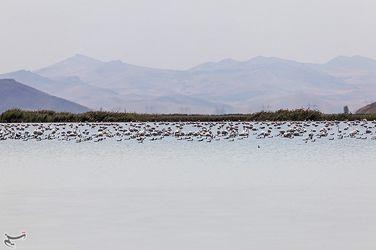 تصاویر هزاران فلامینگو مهاجر در ارومیه