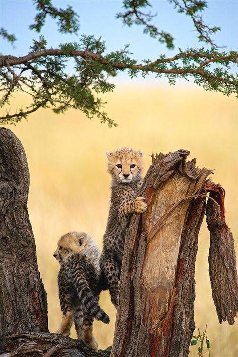 ۱۰ عکس برتر یوزپلنگها در جشنواره جهانی «حیاتوحش را بخاطر بسپار»