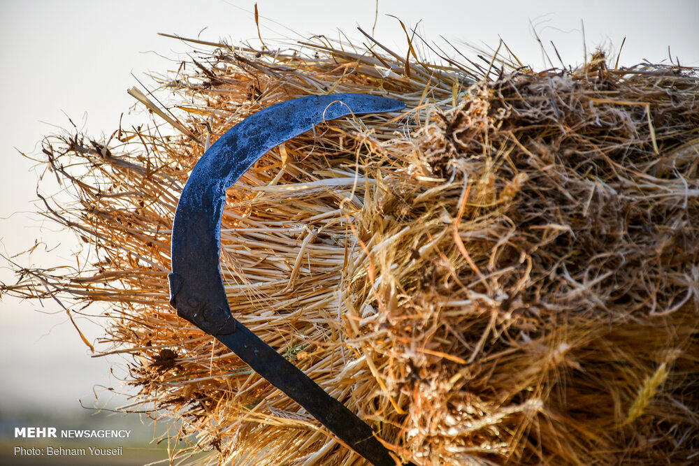 تصاویر: برداشت سنتی گندم در اراک