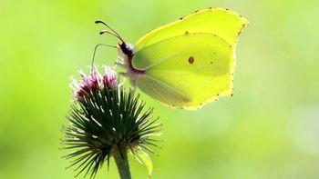 هجوم گسترده پروانههای خاص به بریتانیا