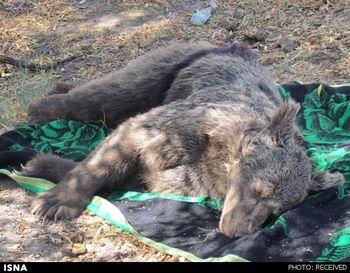 مرگ یک خرس در سانحه رانندگی
