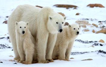 خطر انقراض خرسهای قطبی تا سال ۲۱۰۰