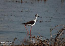 تصاویر بازگشت پرندگان مهاجر به تالاب آقگل