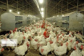 گوشت مرغ بدون هیچ محدودیتی خریداری میشود