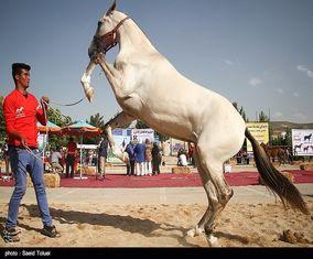 جشنواره اسب اصیل ترکمن در خراسان شمالی