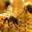 زهر این زنبور، قاتل سرطان سینه است