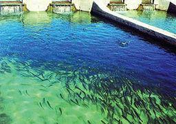 ایران رتبه نخست تولید ماهیان خاویاری جهان
