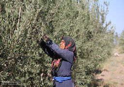 برداشت زیتون سیاه در کویر