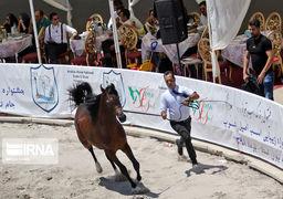 گزارش تصویری جشنواره زیبایی اسب اصیل عرب در تبریز